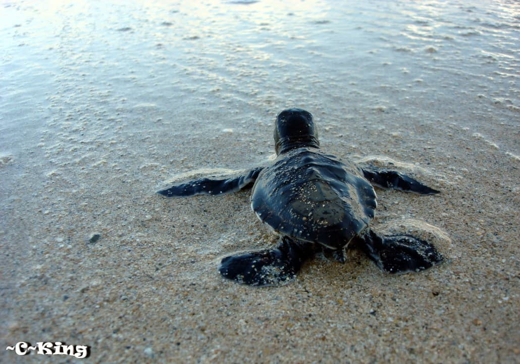 Hawksbill Recovery Project
