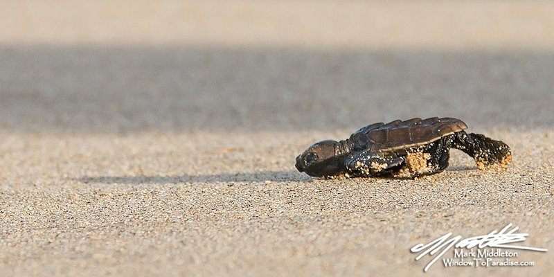 Baby Hawksbill turtle maui