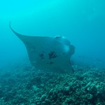Manta Ray Project