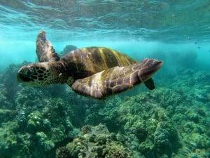 Seeing turtles South Maui