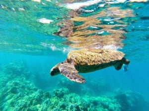 Swimming with turtles Maui