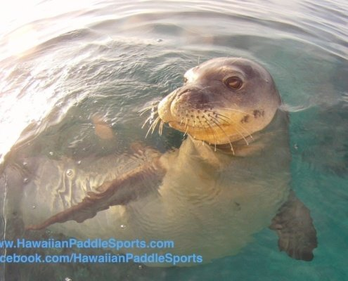 monk seal on kayak tour