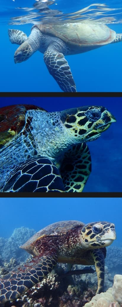 Hawksbill sea turtles