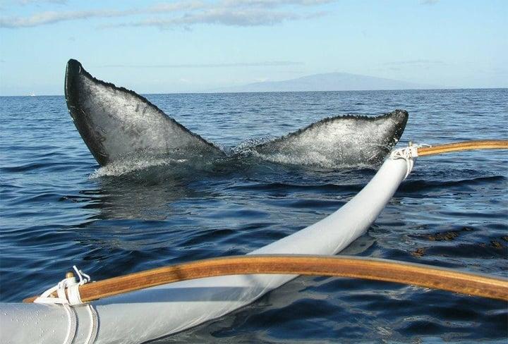 Humpback whale fluke in Maui