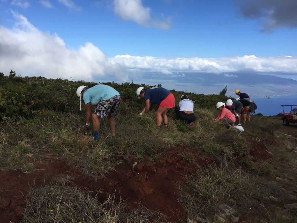 weeding invasive species maui cultural lands