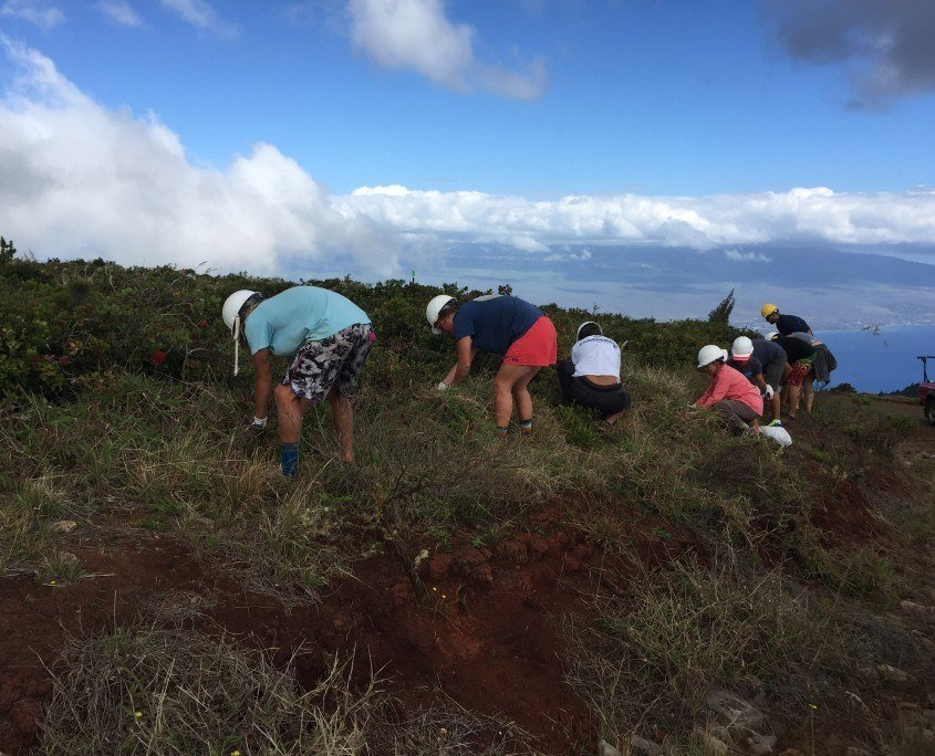 weeding invasive species maui cultural lands