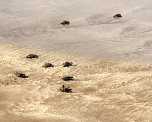 hawksbill hatchlings get hit by first wave