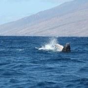 WhalesArriveEarlyinHawaii