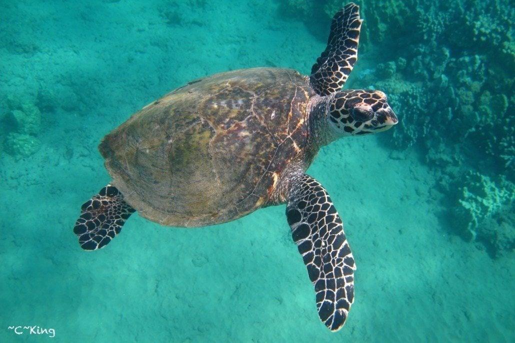 Hawksbill Maui