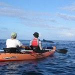 Rare Hawaiian Monk Seal on Outrigger Canoe Tour. Maui, Hawaii