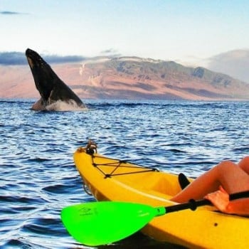 Hawaiian Paddle Supports raised funds for Whale Trust Maui with kayak tours