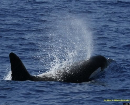 Killer Whale Takes a breath in hawaiian waters. Hawaii