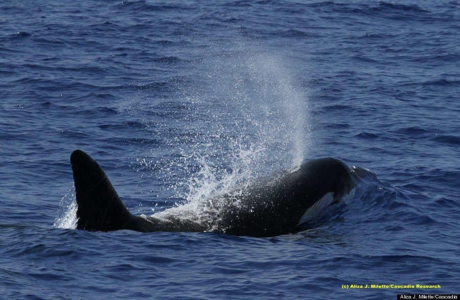 Killer-whale-Blow-hawaii