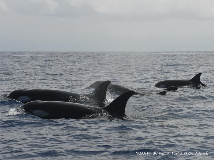 Killer-whales-in-Hawaii