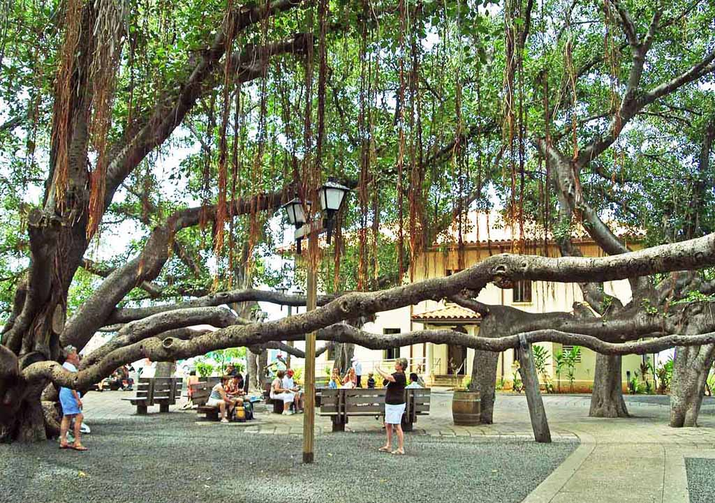 Indian Banyan Tree Covering