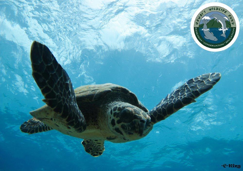 Hawksbill Sea Turtle Recovery Project