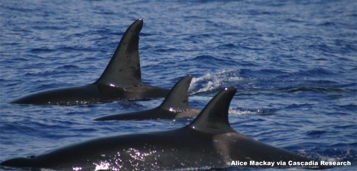Orca Whales in Hawaii