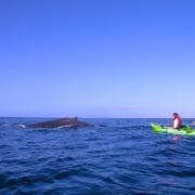 Kayak whale watching Maui