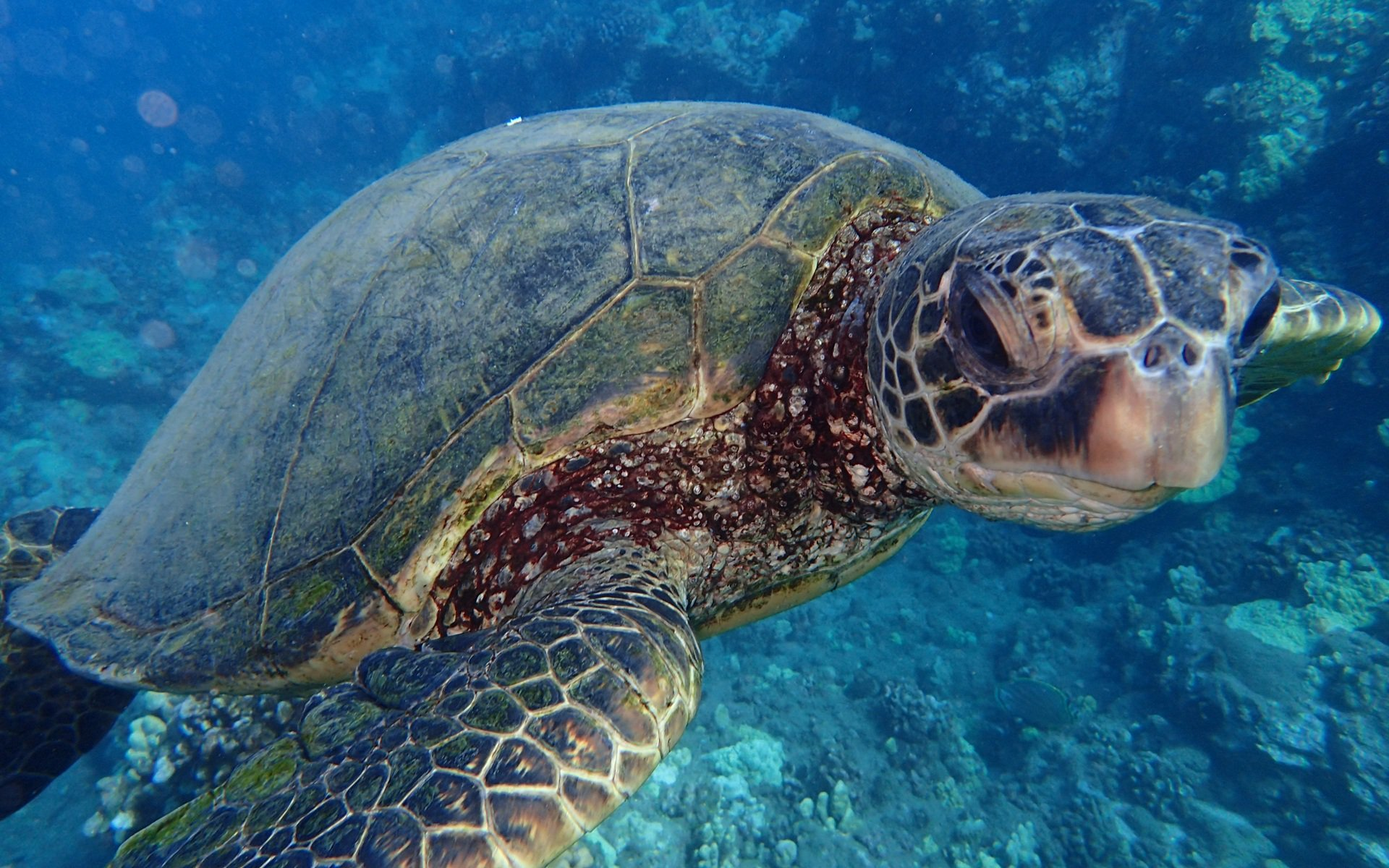 maui sea turtles hawaiian green sea turtles aka honu