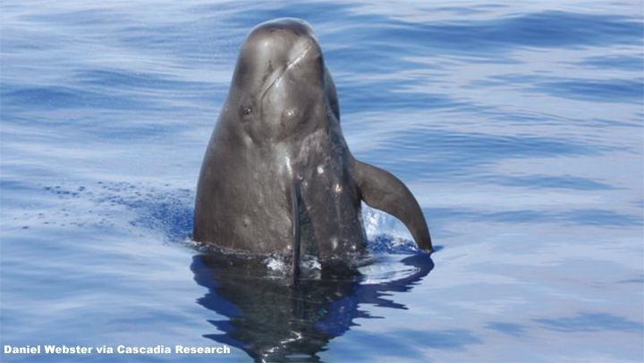 Pilot Whale in Hawaii