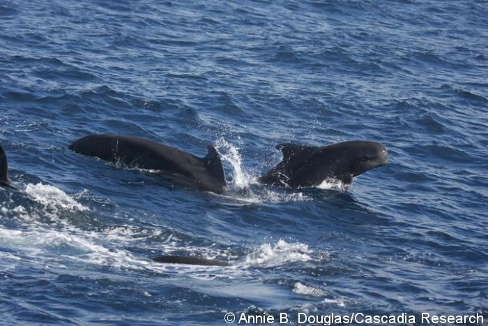 Short-finned-pilot-whales