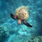 Snorkeling with Sea Turtles Maui