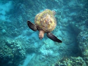 Snorkeling with Sea Turtles Maui