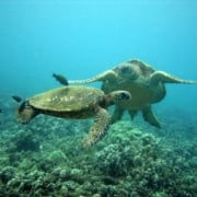 Maui turtle cleaning station