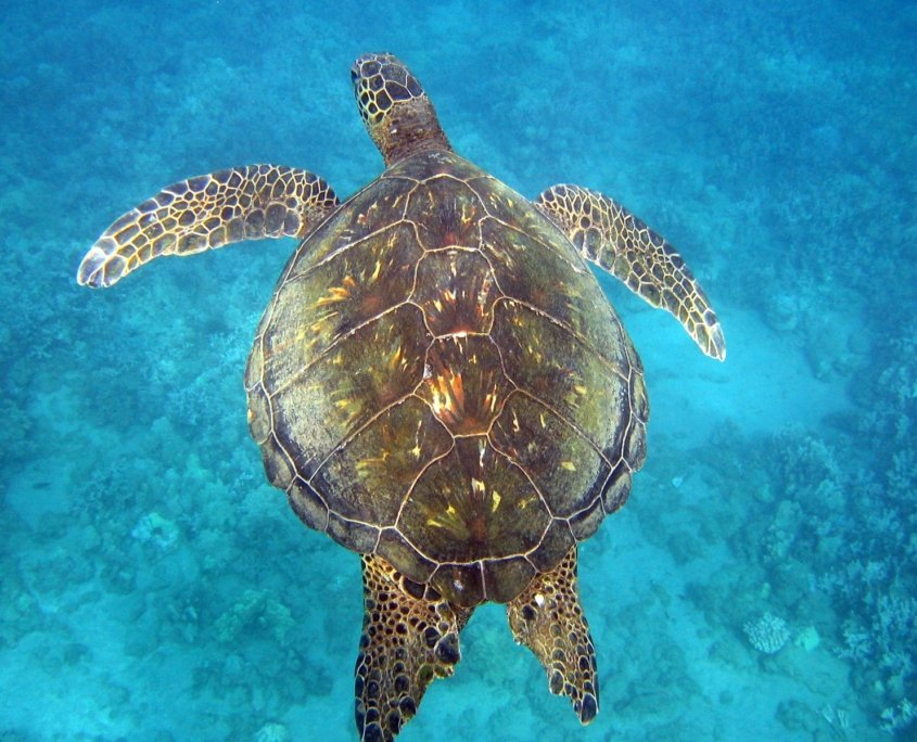 Maui Sea Turtles | Hawaiian Green Sea Turtles AKA Honu