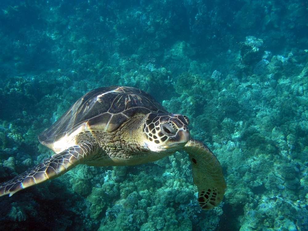 Turtlecomingtocamera