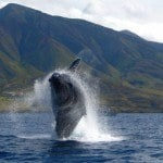 Humpback Whales Return to Maui Hawaii