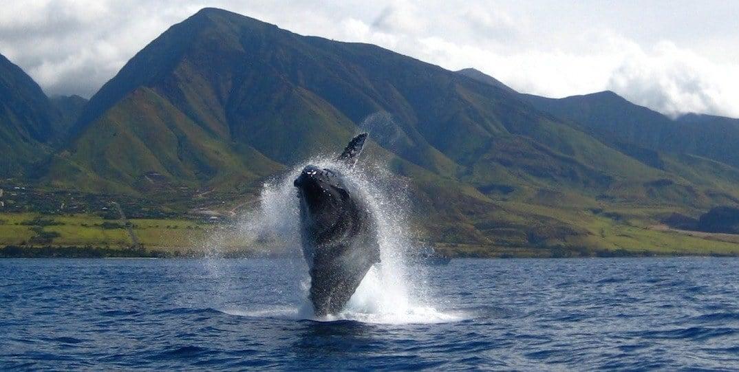 Maui Whale Watching Tours Kayak Canoe Sup