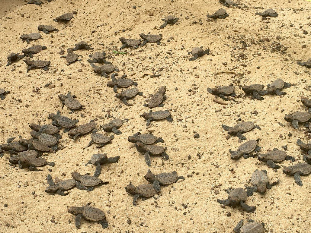 Hawksbill sea turtle hatchlings maui