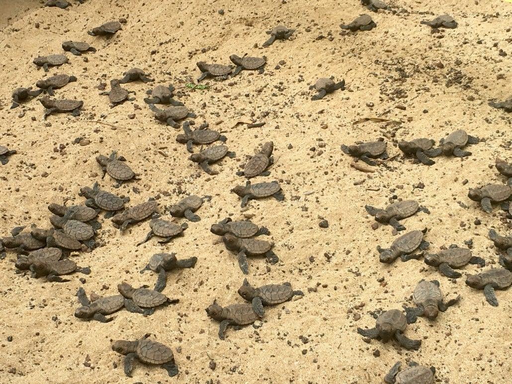 hawksbill hatchlings Maui