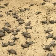 hawksbill hatchlings