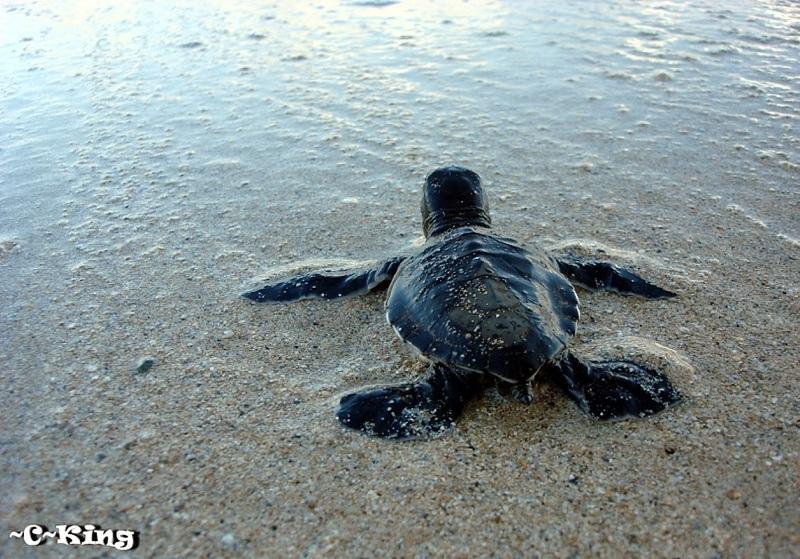 Maui Sea Turtles   Haw...