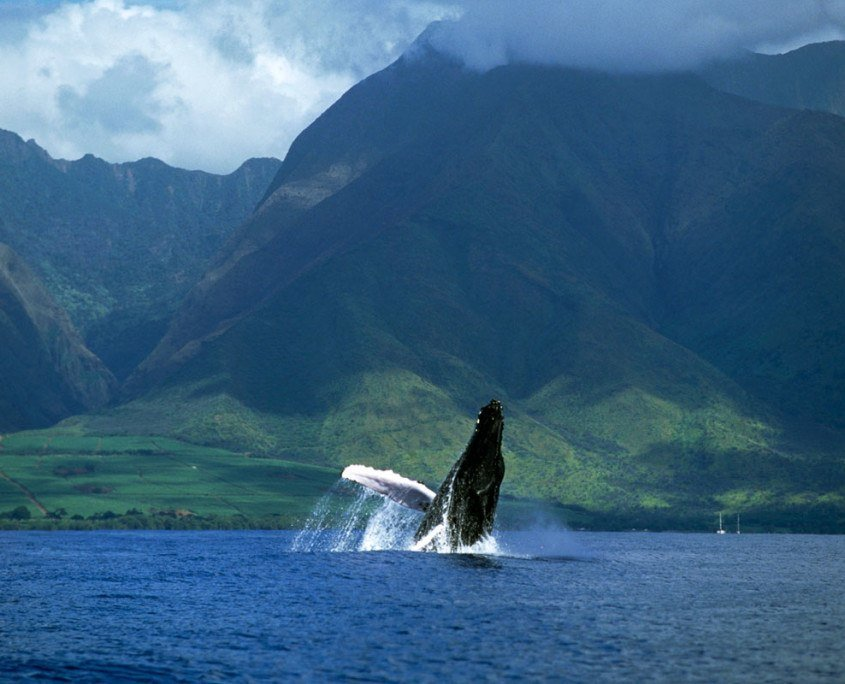 Humpback whale breaching off the coast of Maui