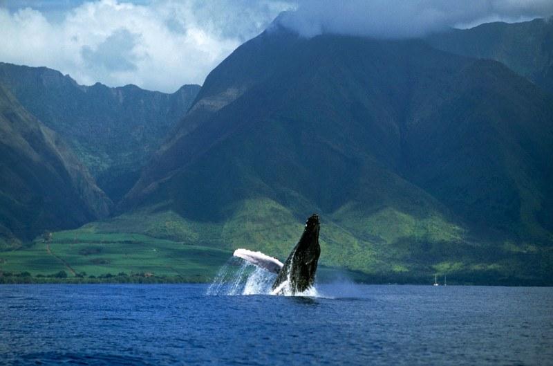 Humpback whale breaching off the coast of Maui