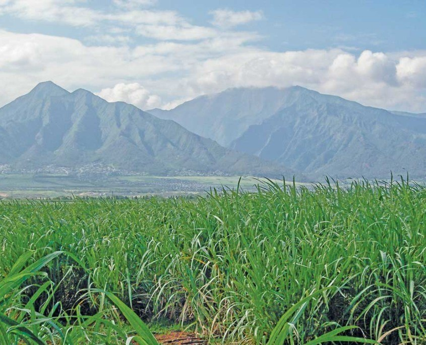 cane field maui tomorrow