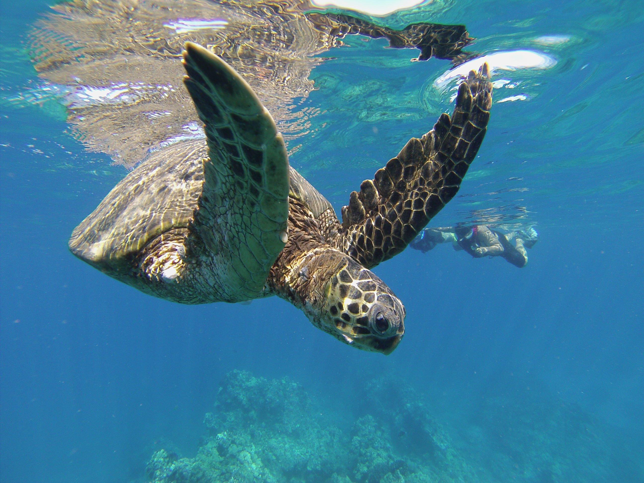 Sea Turtle Tours   Hawaiian Paddle Sports in Maui