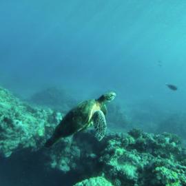 Green Sea Turtle Snorkel Tour