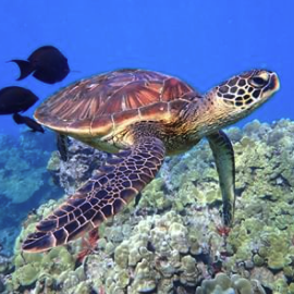 Hawaiian Paddle Sports Turtle Tours