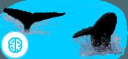 humpback whales anatomy
