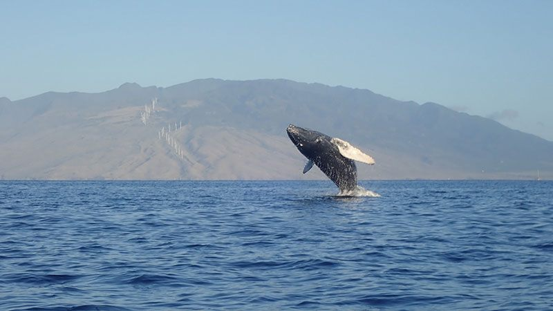 humpback-whale-jump-over