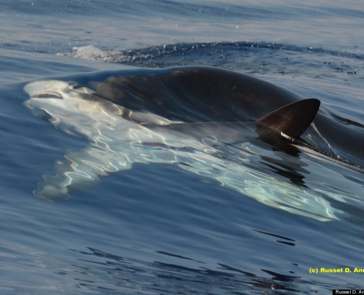 Killer whale feeds on shark in hawaii