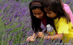 kula lavender