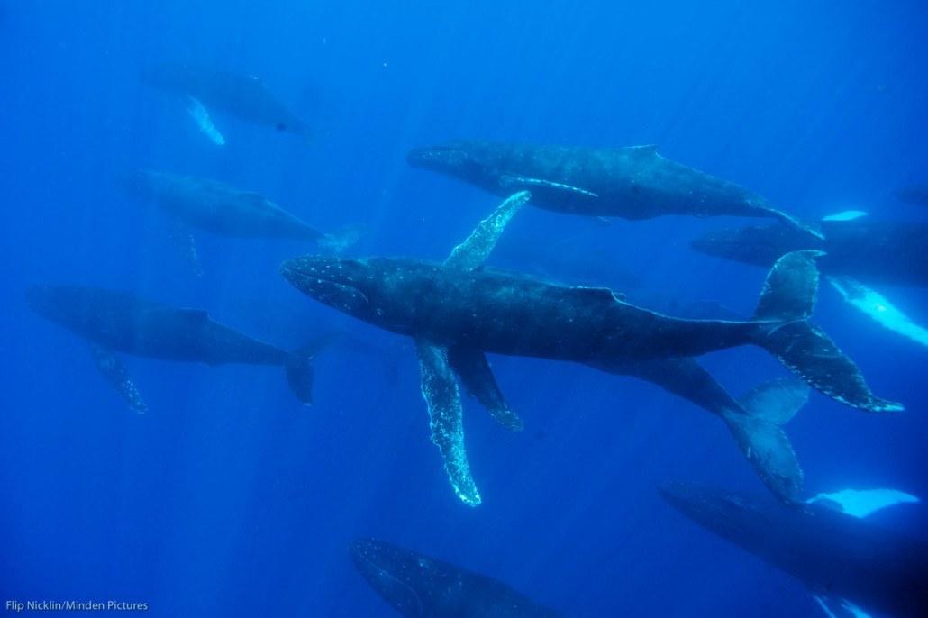 Flip Nicklin/Minden Pictures/Whale Trust. NOAA Permit # 13846