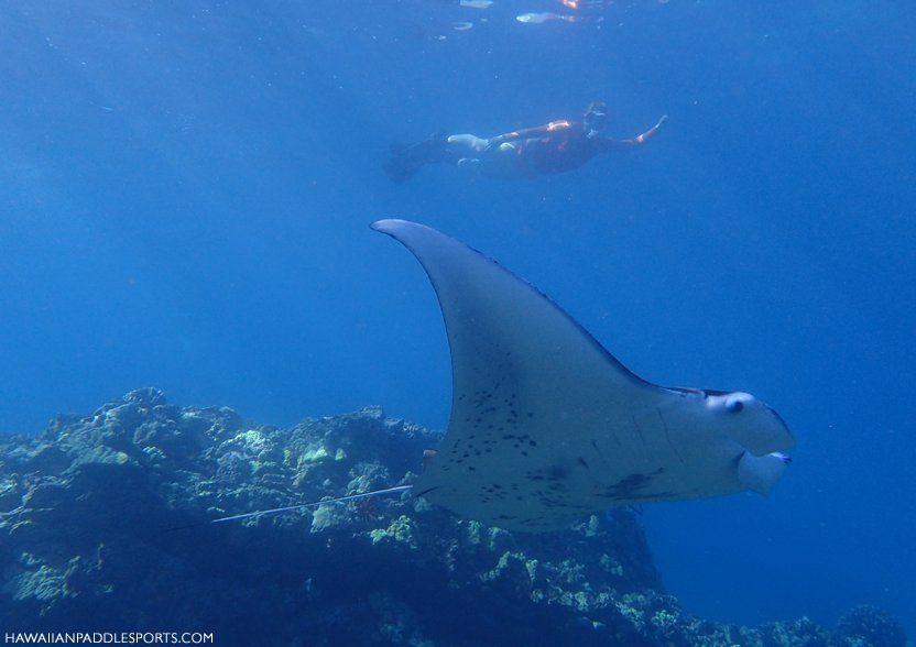 Manta Ray at Honolula Bay by Clayton Watkins