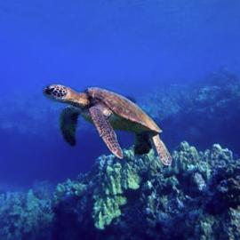 Maui Turtle Snorkeling Tours