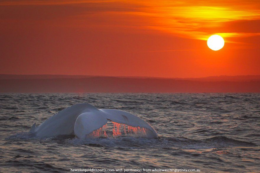 The famous white whale during sunset past Cronulla